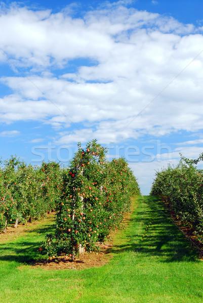 Appelboomgaard Rood rijp appels heldere blauwe hemel Stockfoto © elenaphoto