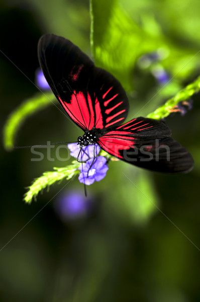 Red heliconius dora butterfly Stock photo © elenaphoto