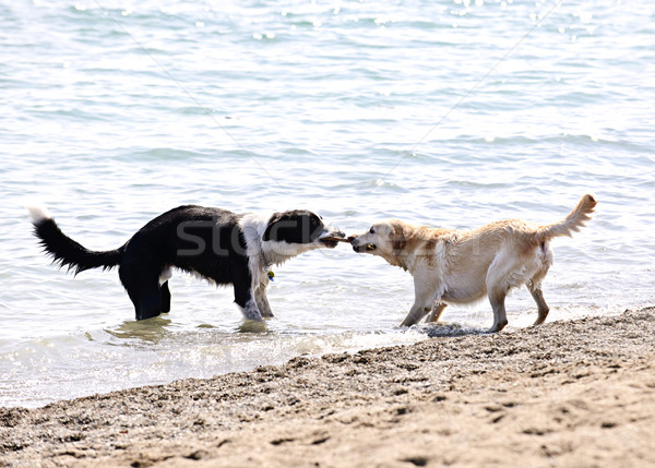 Two dogs playing on beach Stock photo © elenaphoto