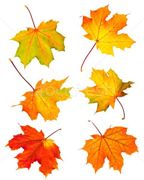 Fall maple leaves Stock photo © elenaphoto