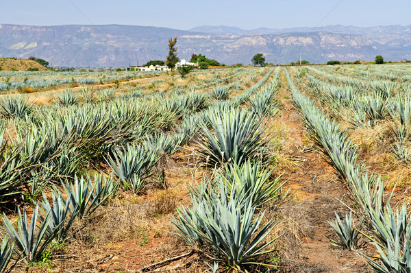 Agavé kaktusz mező Mexikó tequila természet Stock fotó © elenaphoto