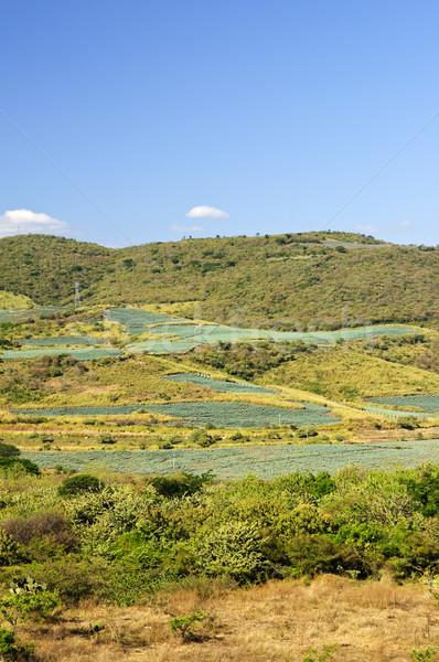 Agave cacto campo paisagem México campos Foto stock © elenaphoto