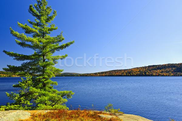 Pine tree at lake shore Stock photo © elenaphoto