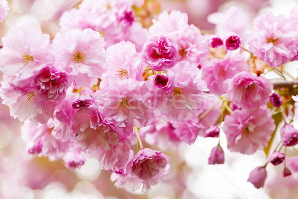 Stock fotó: Cseresznyevirágzás · tavasz · cseresznye · fa · rózsaszín · cseresznyevirág