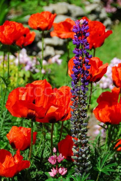 Voorjaar tuin klaprozen bod Rood eiland Stockfoto © elenaphoto