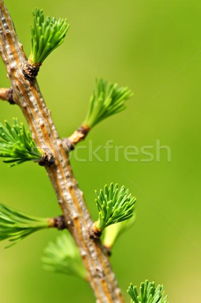 Green spring needles Stock photo © elenaphoto