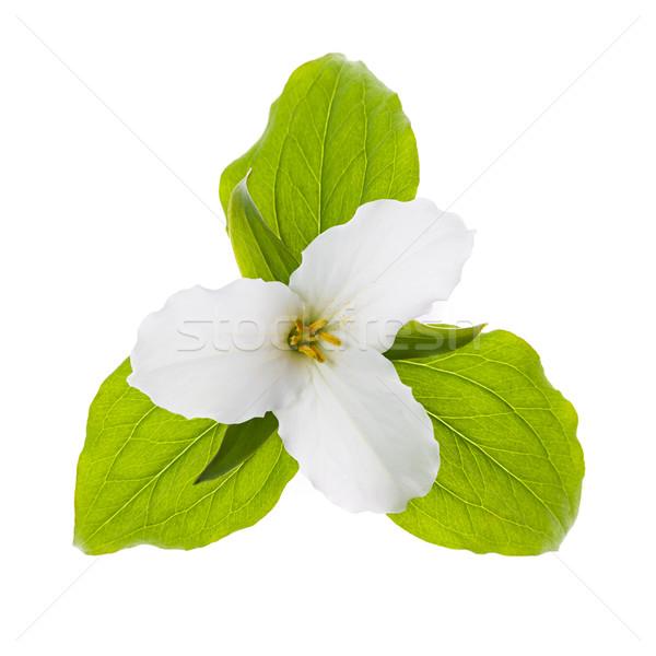 White Trillium flower isolated Stock photo © elenaphoto