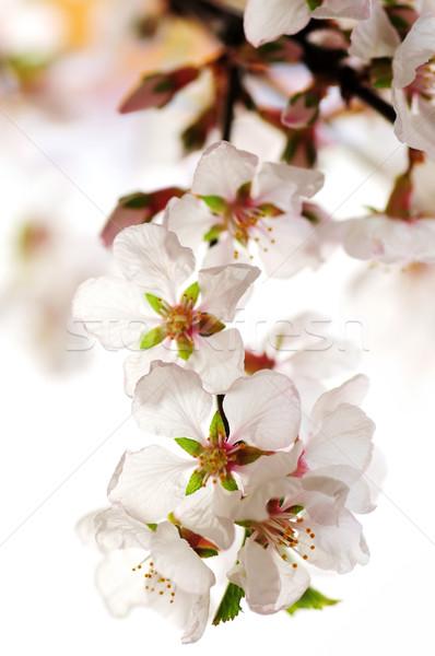 Rózsaszín cseresznyevirág makró cseresznyevirágzás izolált fehér Stock fotó © elenaphoto