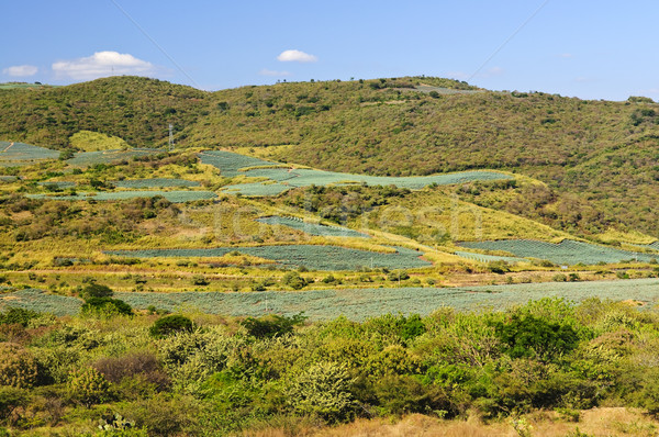 Agave кактус области пейзаж Мексика полях Сток-фото © elenaphoto