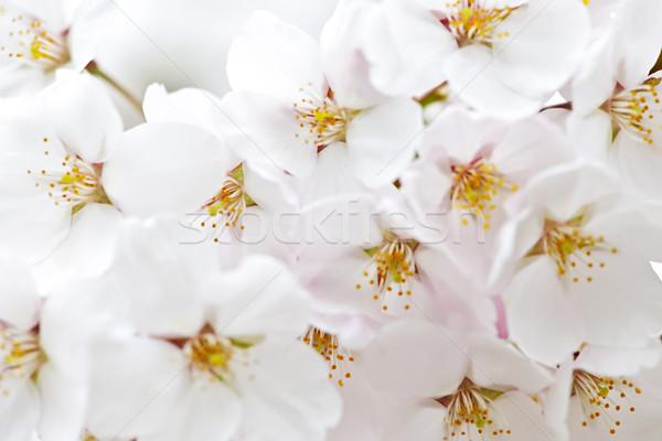 蘋果 蘋果樹 春天 關閉 花 商業照片 © elenaphoto