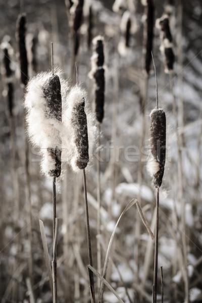 Cattails in winter Stock photo © elenaphoto
