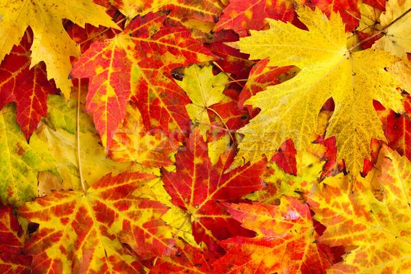 Fall maple leaves background Stock photo © elenaphoto