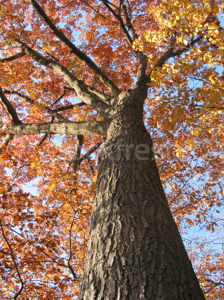 Old oak tree in the fall 1 Stock photo © elenaphoto