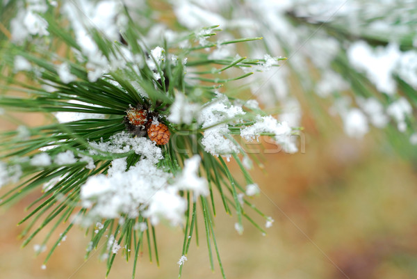 Snowy pine branch Stock photo © elenaphoto