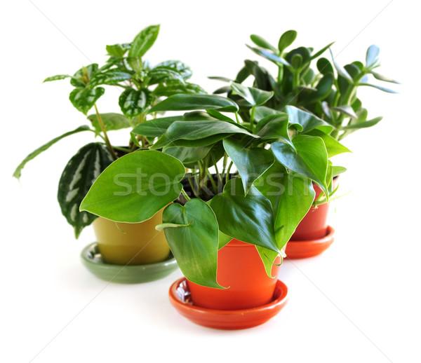Assorted houseplants Stock photo © elenaphoto