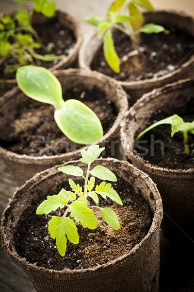 Seedlings growing in peat moss pots Stock photo © elenaphoto