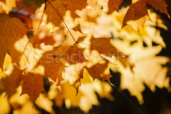 Backlit fall maple leaves Stock photo © elenaphoto