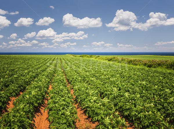 Papa campo isla del príncipe eduardo plantas creciente Foto stock © elenaphoto