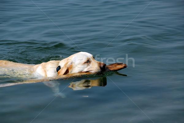 Stock fotó: Kutya · úszik · citromsárga · labor · tó · tart