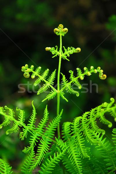 Fern leaf Stock photo © elenaphoto
