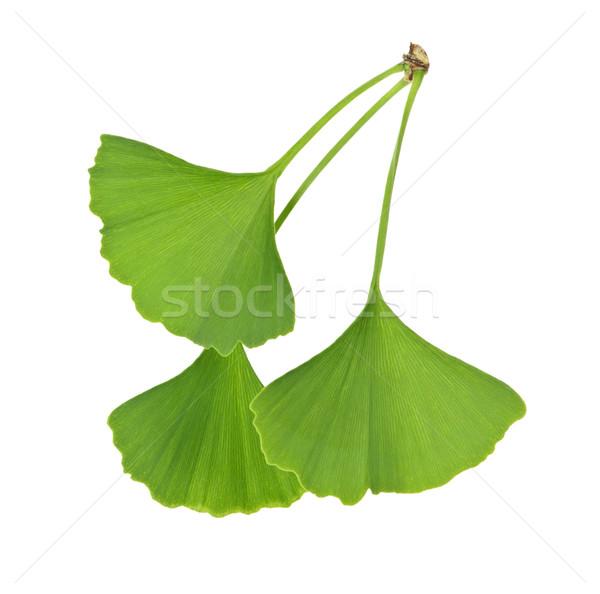 Ginkgo Biloba leaves Stock photo © elenaphoto