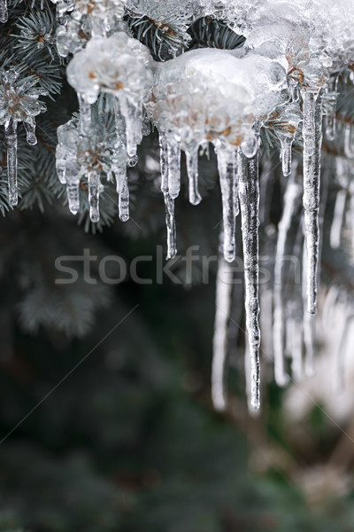 Icicles on winter branches Stock photo © elenaphoto