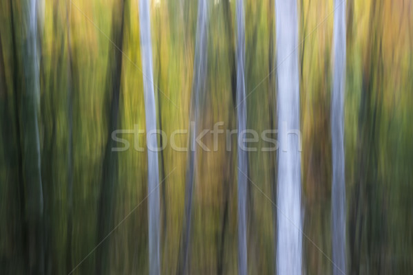 Birches in twilight Stock photo © elenaphoto