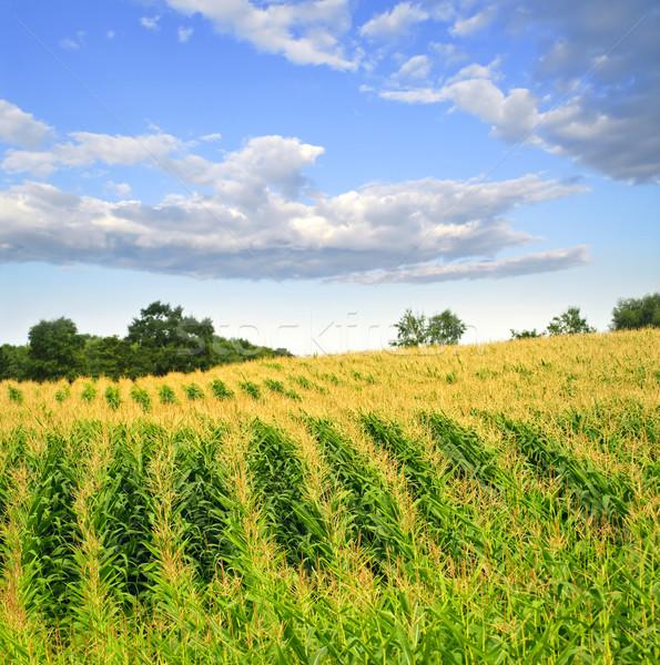 Mais campo agricola panorama piccolo scala Foto d'archivio © elenaphoto