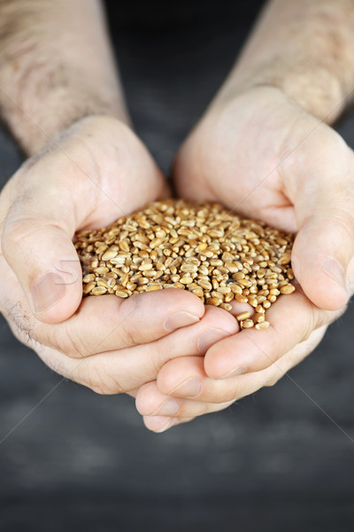 Hands holding grain Stock photo © elenaphoto