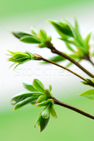 Spring green leaves Stock photo © elenaphoto