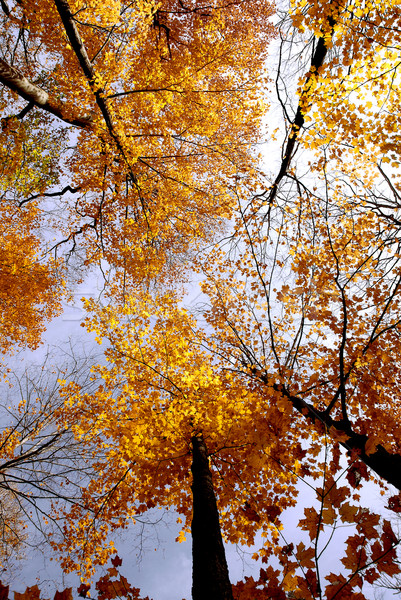 Fall maples Stock photo © elenaphoto