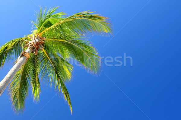 Palm on blue sky background Stock photo © elenaphoto