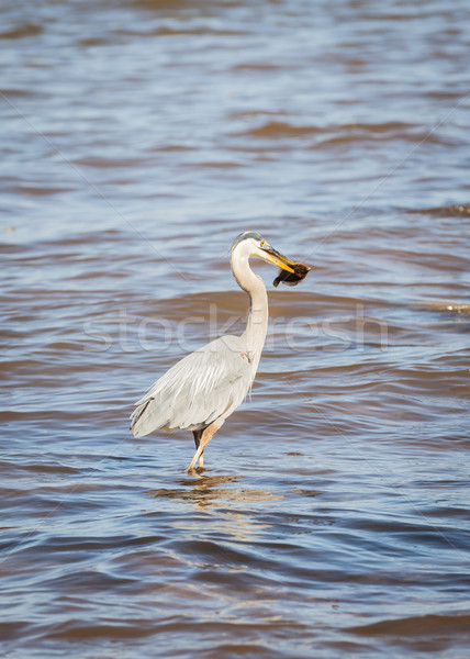 Great Blue Heron in water with fish Stock photo © elenaphoto