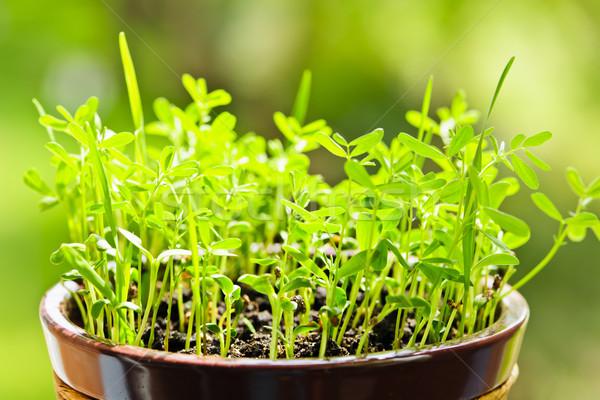 Plántulas creciente olla primer plano verde arcilla Foto stock © elenaphoto