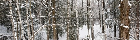 Winter forest landscape panorama Stock photo © elenaphoto