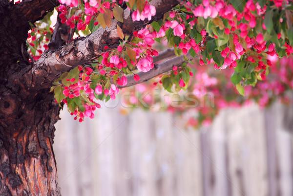 Apple tree rosa primavera flores Foto stock © elenaphoto