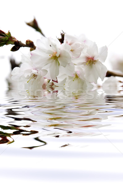 Cherry blossom in water Stock photo © elenaphoto