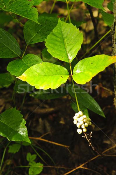 Veneno hera plantas crescente floresta venenoso Foto stock © elenaphoto