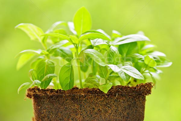 Green sweet basil plant Stock photo © elenaphoto