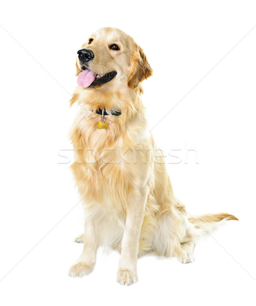 Golden retriever dog Stock photo © elenaphoto