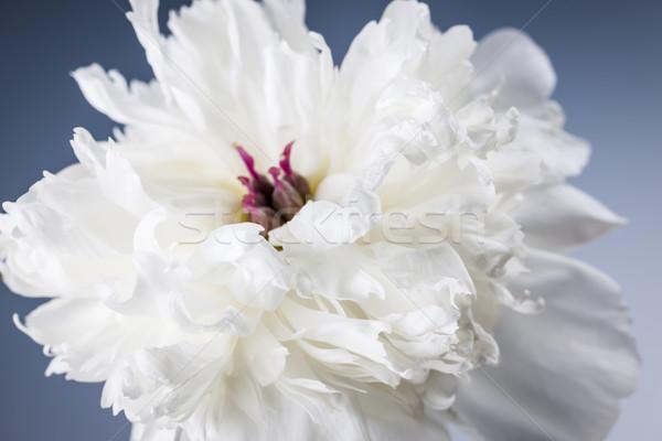 Stock photo: White peony flower close up