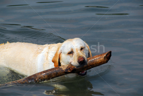 Dog swim stick Stock photo © elenaphoto