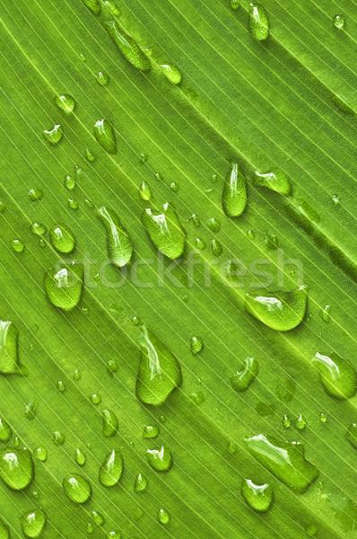 Zielony liść naturalnych zielone roślin liści Zdjęcia stock © elenaphoto