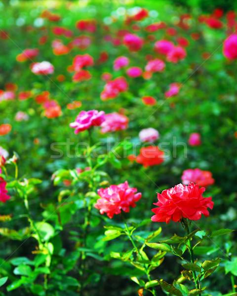 Roses Stock photo © elenaphoto