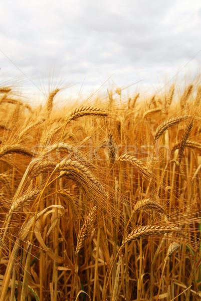 Сток-фото: пшеницы · растущий · фермы · области · природы