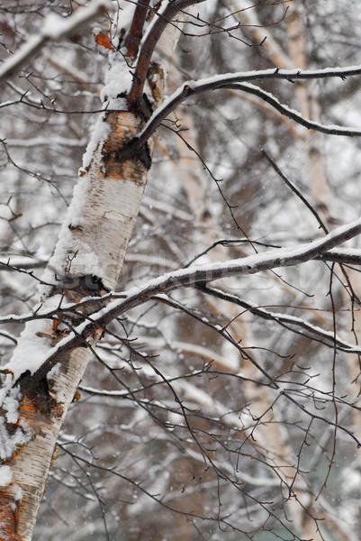 Winter trees with snow Stock photo © elenaphoto