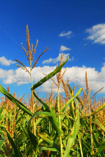 Mais veld boerderij groeiend blauwe hemel hemel Stockfoto © elenaphoto