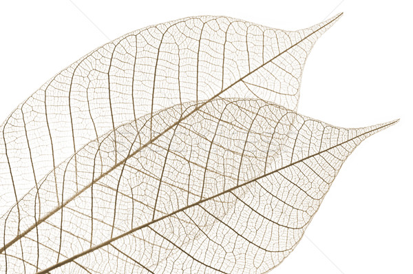 Foto stock: Esqueleto · folhas · secas · borracha · árvore