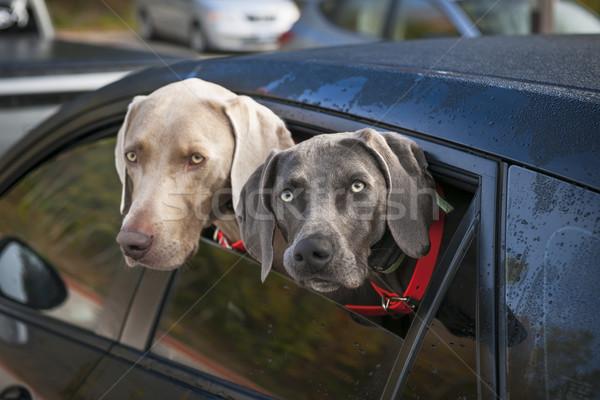 Kutyák autó kettő néz ki ablak Stock fotó © elenaphoto