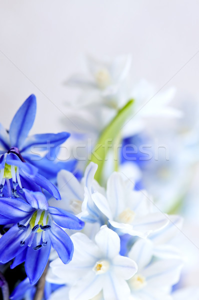 первый весенние цветы цветочный цветок цветы Сток-фото © elenaphoto